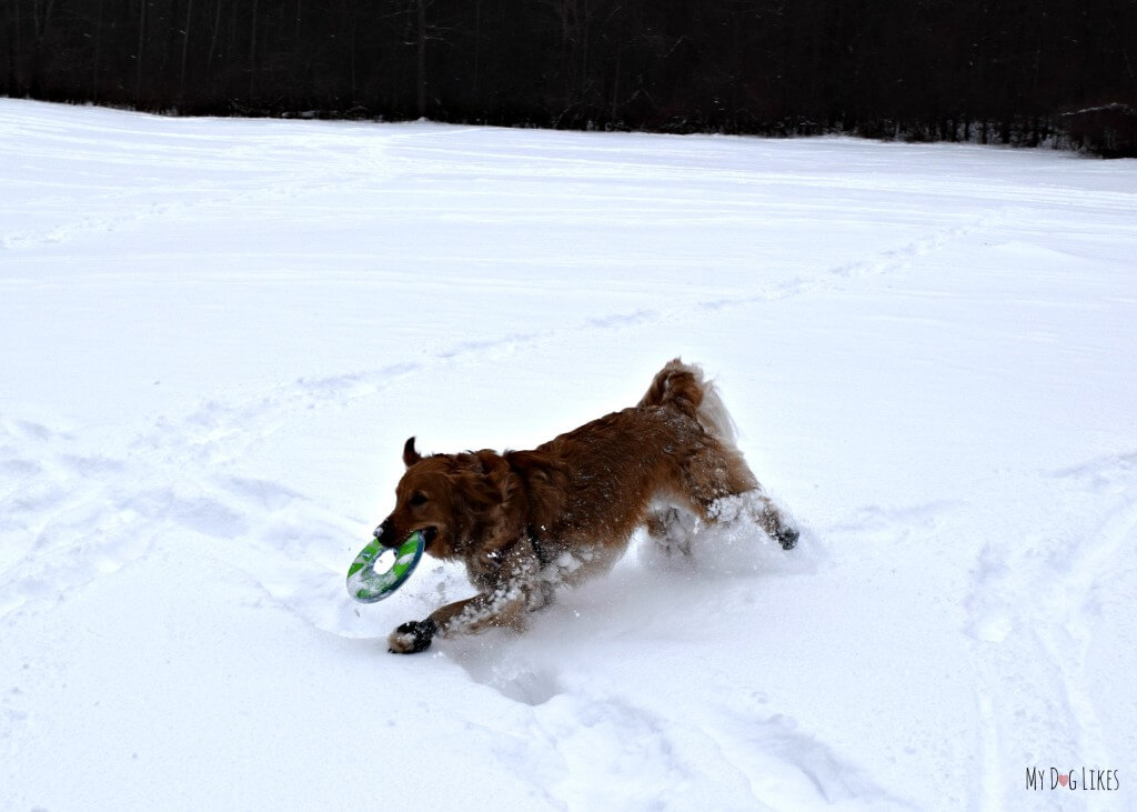 Charlie playing with his Chuckit! dog frisbee on a snowy hike at Black Creek Park!