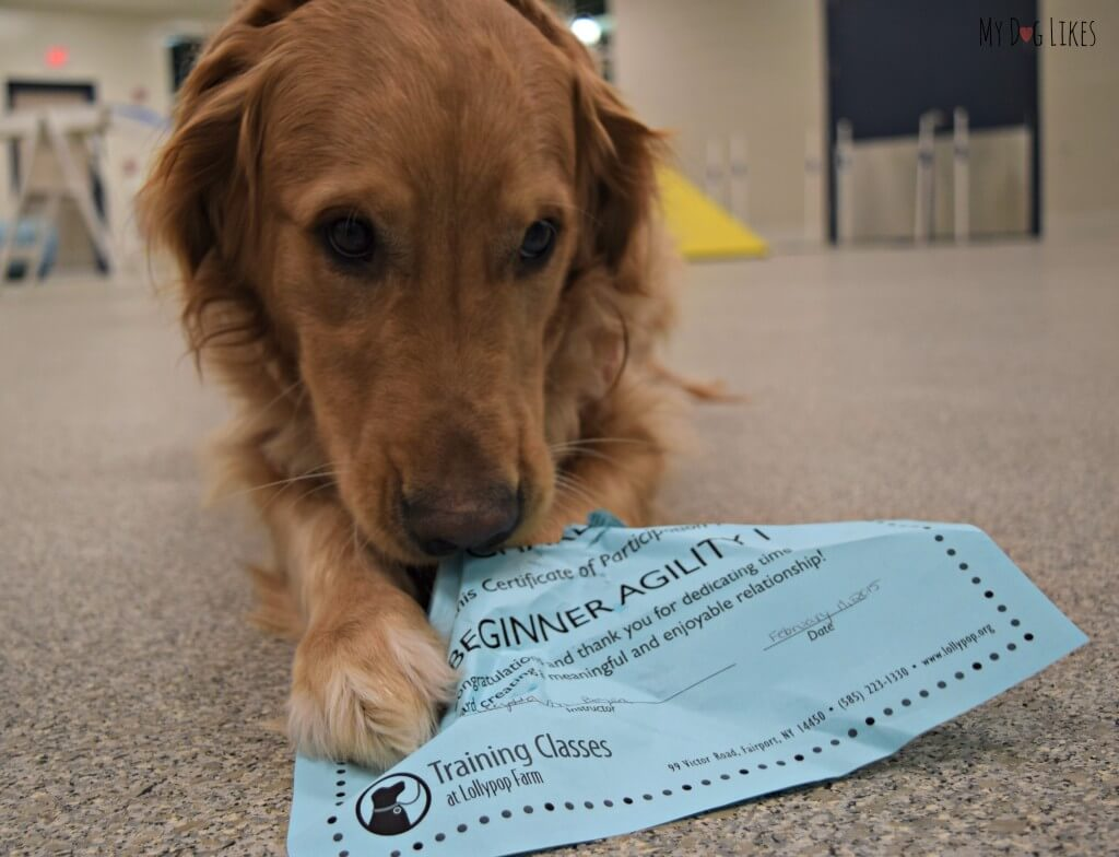 Charlie posing with his certificate of completion for beginner dog agility! He took this course at Lollypop Farm in Rochester, NY.