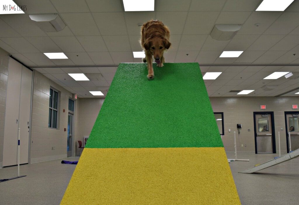 Charlie traveling down the A-Frame in his dog agility course