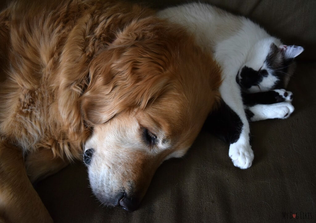 """Harley has his own version of a """"Pillow Pet"""" - his cat brother Lucas!"""