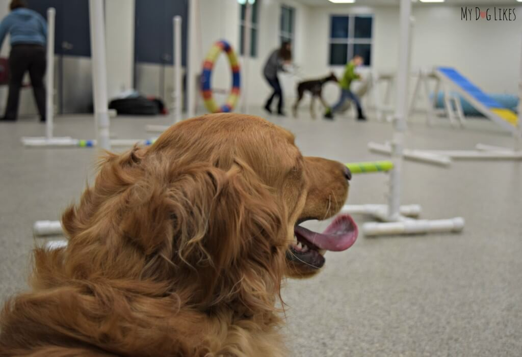 Our Golden Retriever Charlie looking over the dog agility course he is about to run