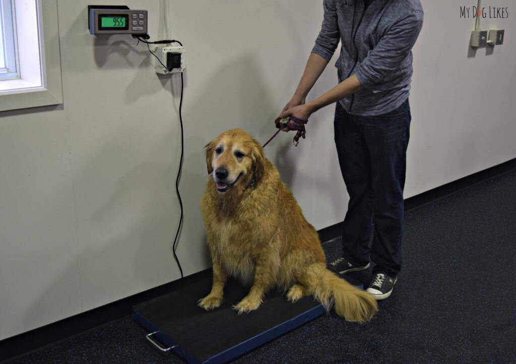 Keeping a close eye on your dogs weight is very important to their overall health. You can find a dog scale at most Veterinarians and many pet stores.