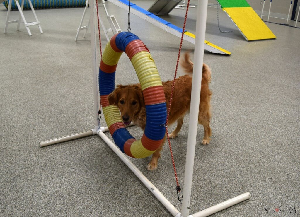 Charlie on his first day of dog agility training wondering what he is supposed to do with this hoop!