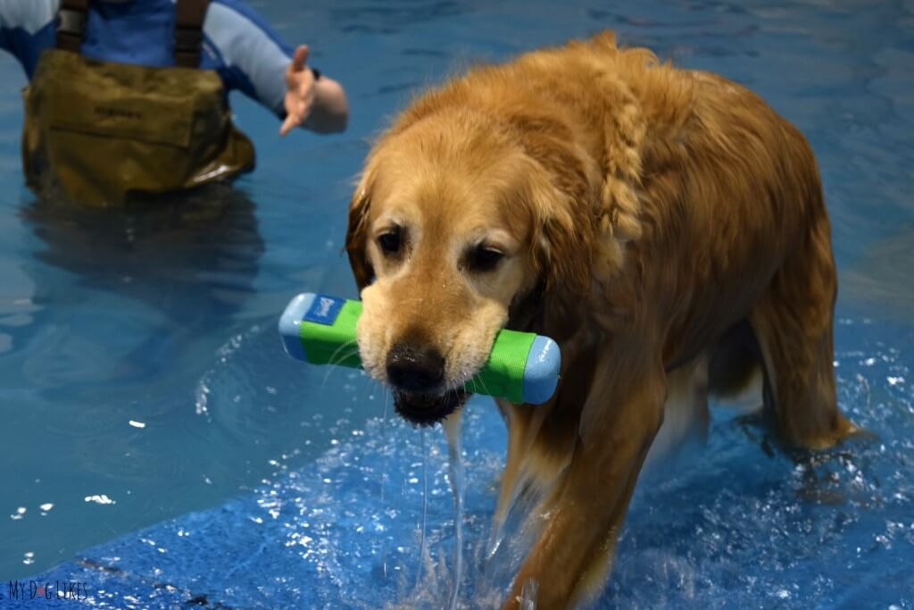 Harley retrieving a Chuckit! toy from the water