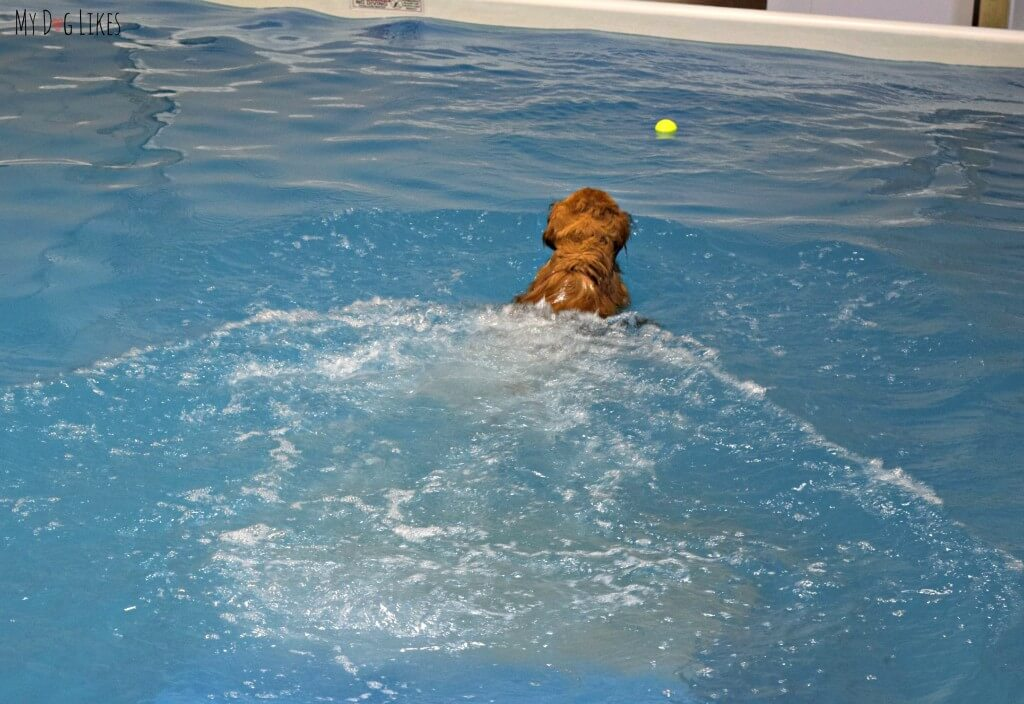 Our Golden Retriever Charlie having fun at a dog swimming pool near Rochester, NY. CoolBlue Conditioning is a dog fitness and aquatic center in Macedon, NY