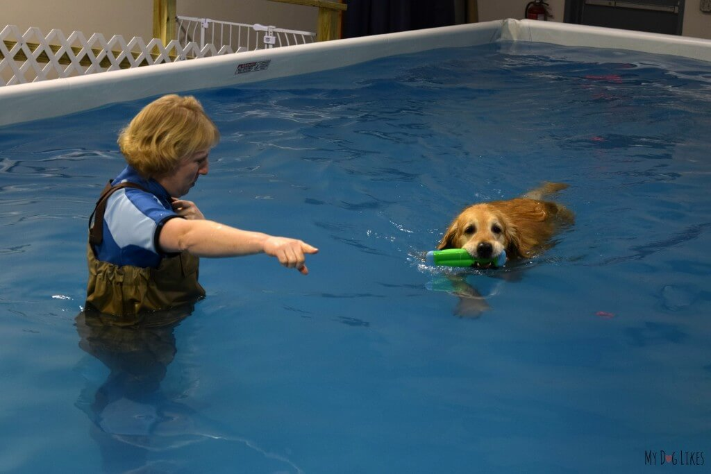 Harley being directed toward the Dog Pool Ramp at Cool Blue!