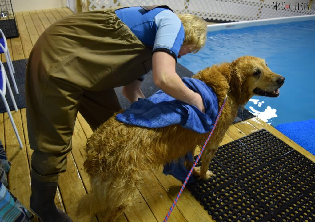Harley getting a towel dry after swimming in the indoor pool at CoolBlue Conditioning!