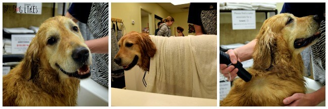 Visit MyDogLikes to see how to dry a dog after a bath properly. Hint - Its not how you think!