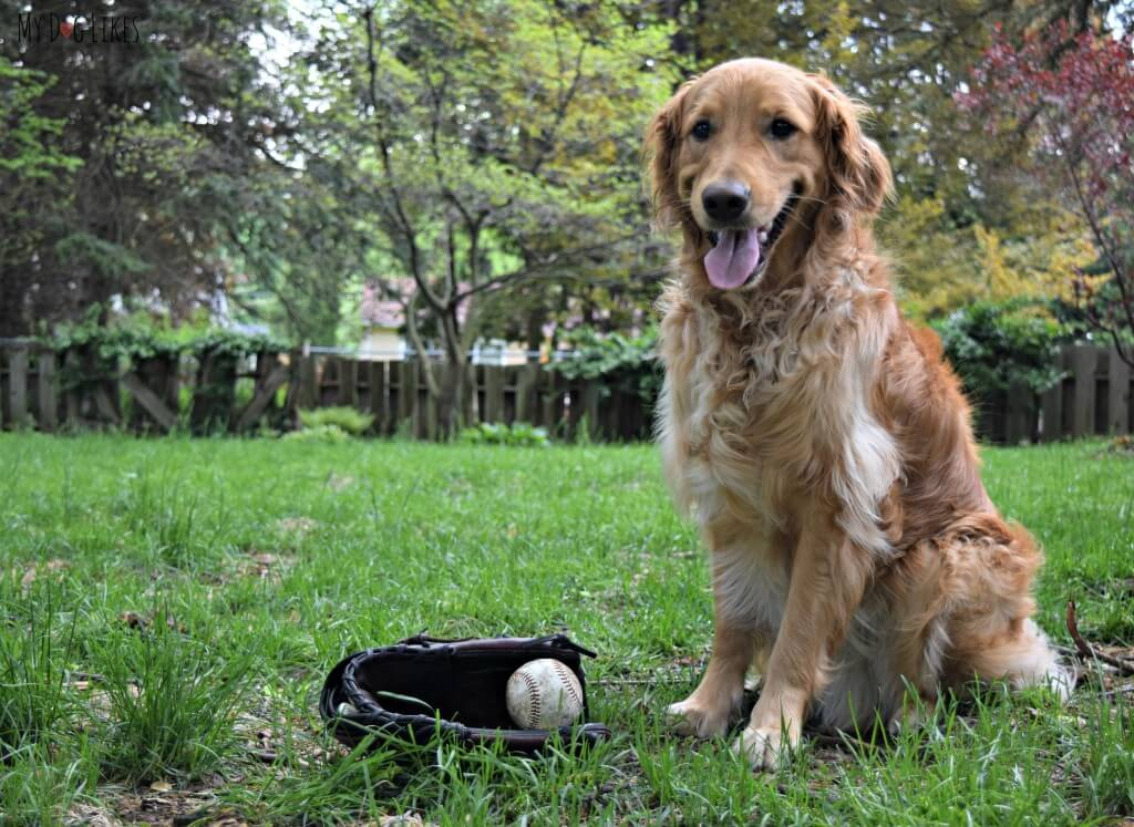 What could be more American than Baseball and Golden Retrievers?!
