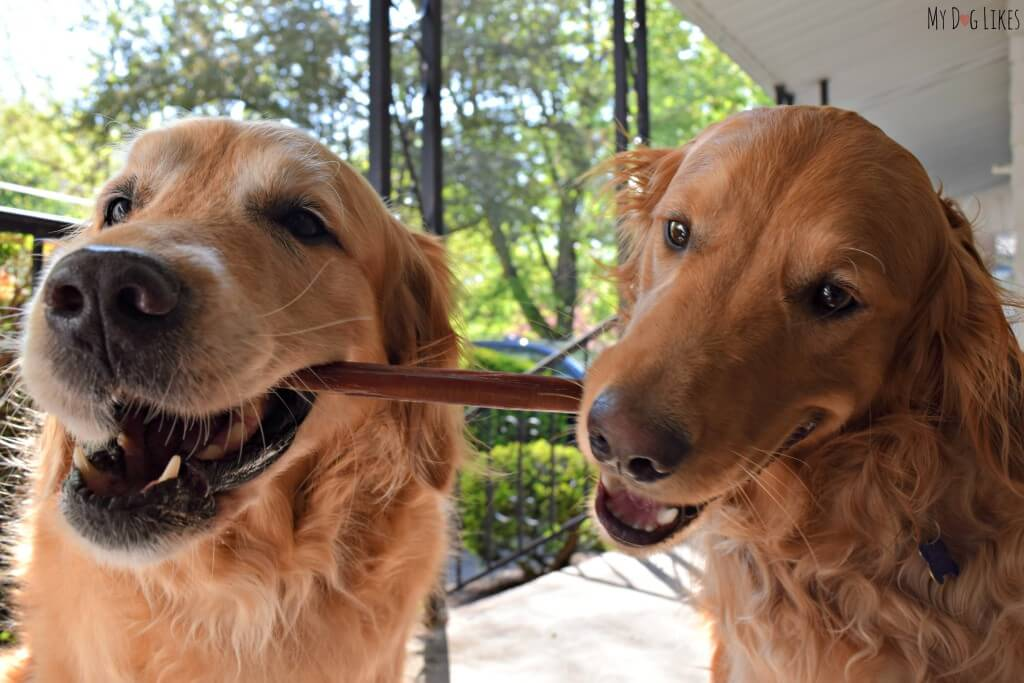 Harley and Charlie attempting to share a Wild Chewz Bully Stick!