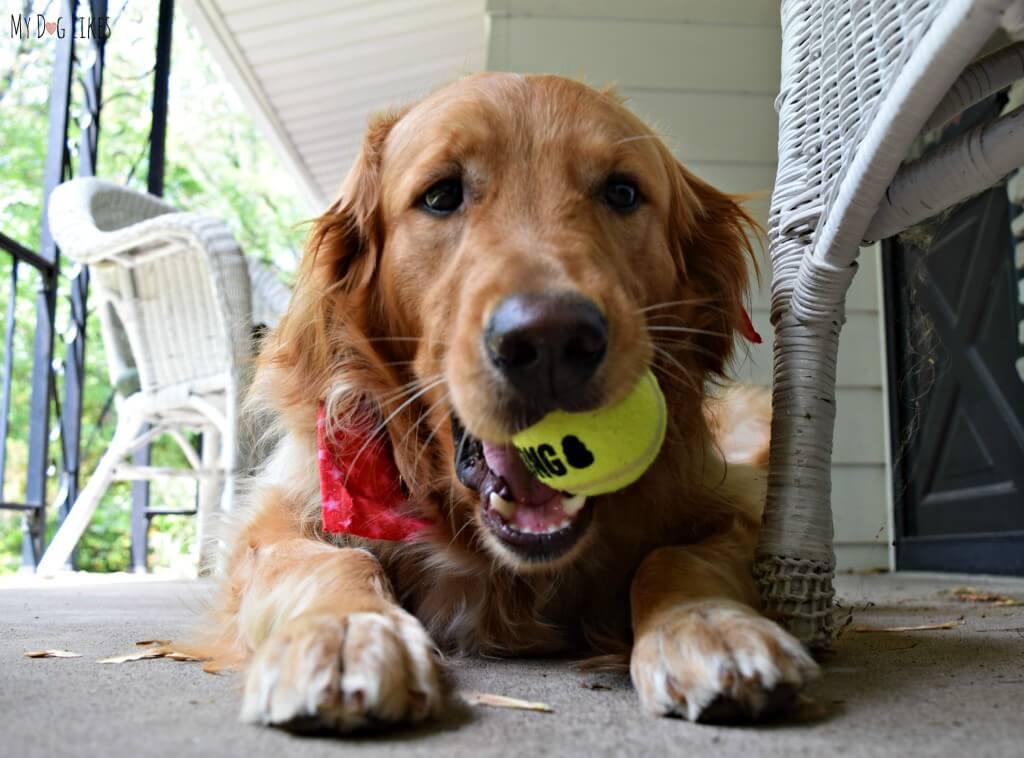 Charlie chewing on a fresh Kong Tennis Ball