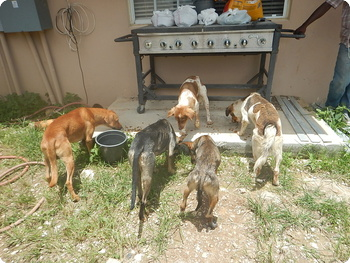 A group of Potcake Dogs at the Abaco shelter in the Bahamas.