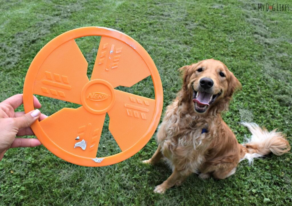 Charlie, our resident Frisbee Dog, waiting to fetch his new NERF Frisbee!