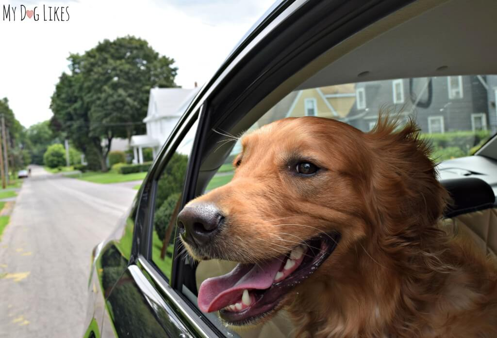 Charlie enjoying a ride in our new Subaru!