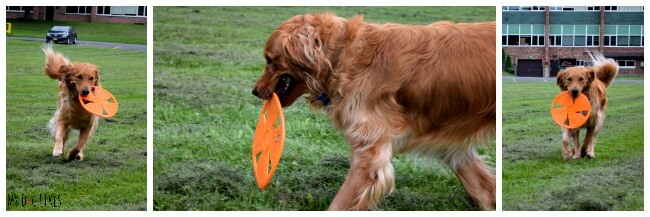 Charlie in action during MyDogLikes latest dog frisbee review!