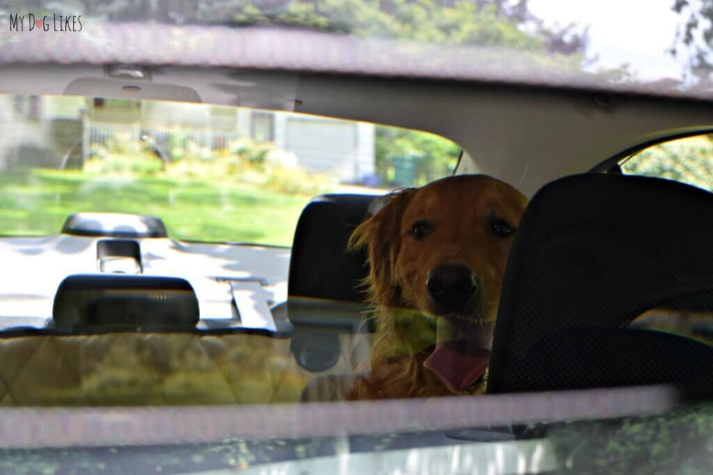 Keeping an eye on the pups in the backseat!