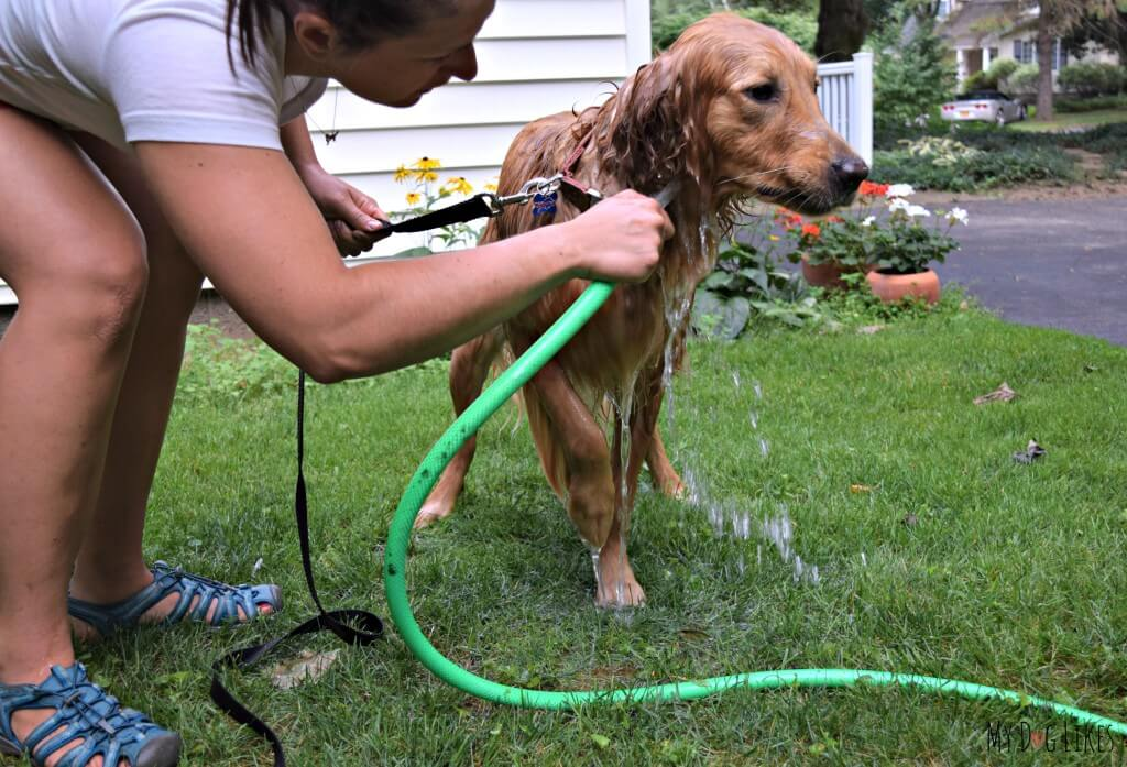 Washing dogs after swimming is very important to remove allergens and other potential contaminants that the water source may have left behind.