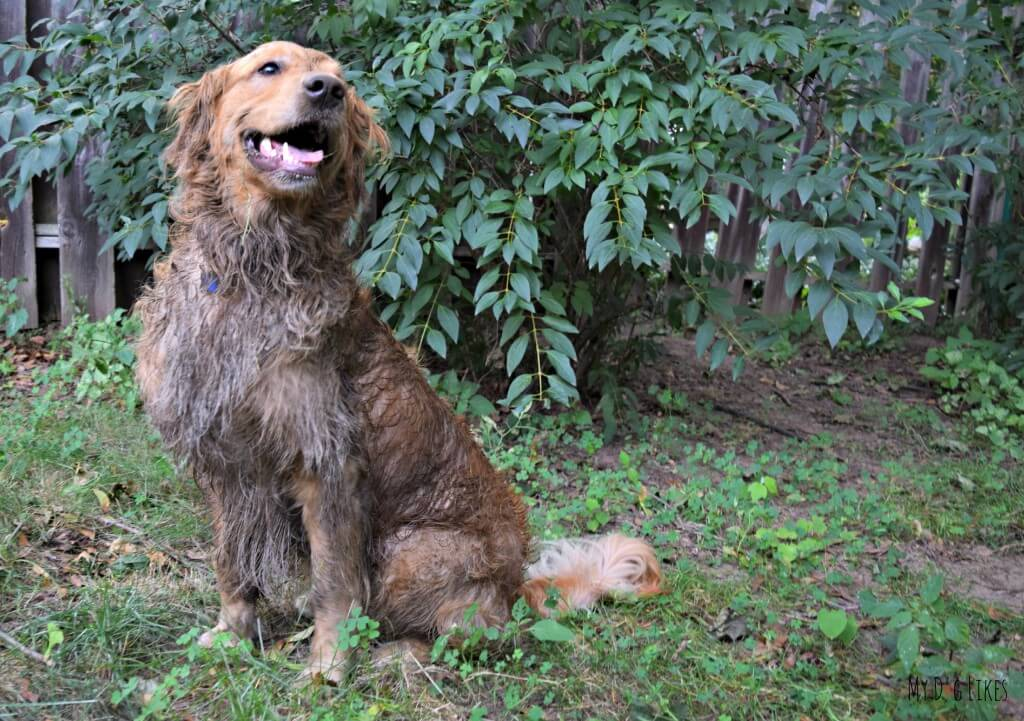 Our Golden Retriever managed to return himself to a dirty dog just moments AFTER a bath!
