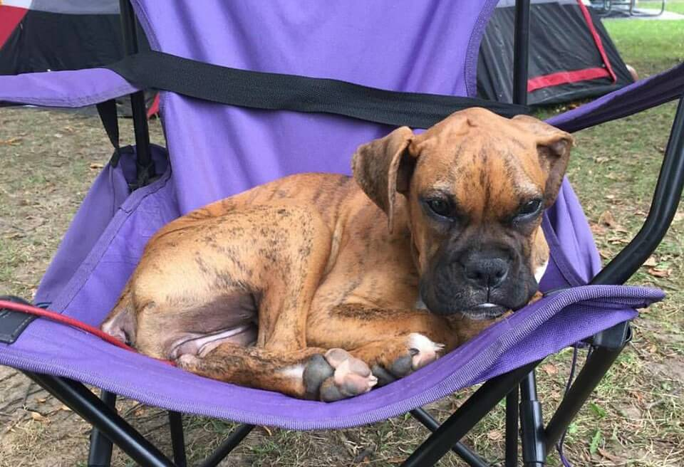 Boxer puppy sitting on fold up chair