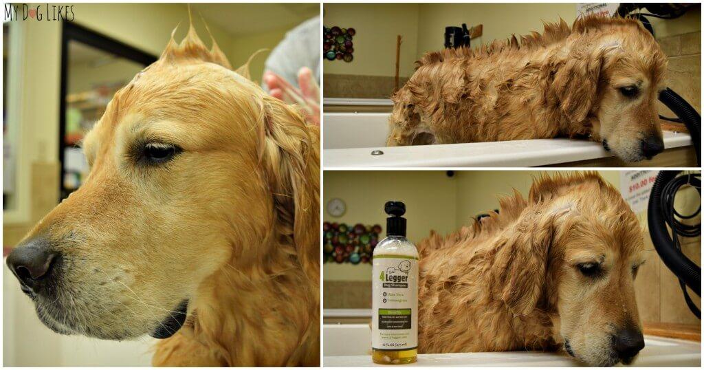 Harley sporting a dog mohawk during his 4-Legger dog bath!