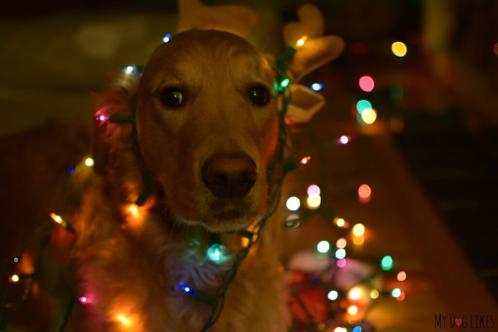 Our Golden Retriever Charlie tangled up in Christmas lights
