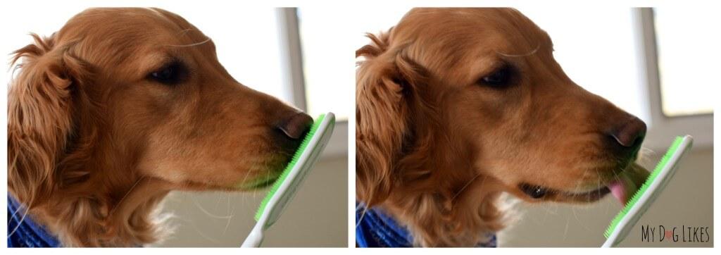 Using the Orapup dog tongue brush