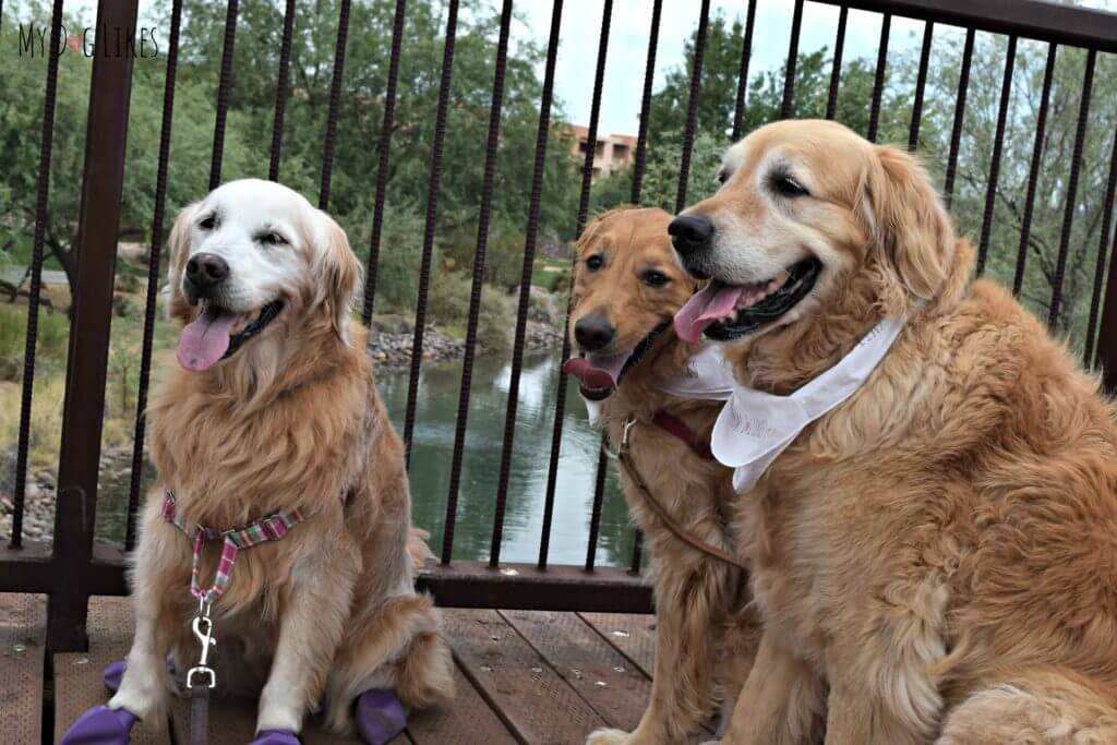 Meeting Sugar from GoldenWoofs at BlogPaws 2016 in Phoenix, AZ