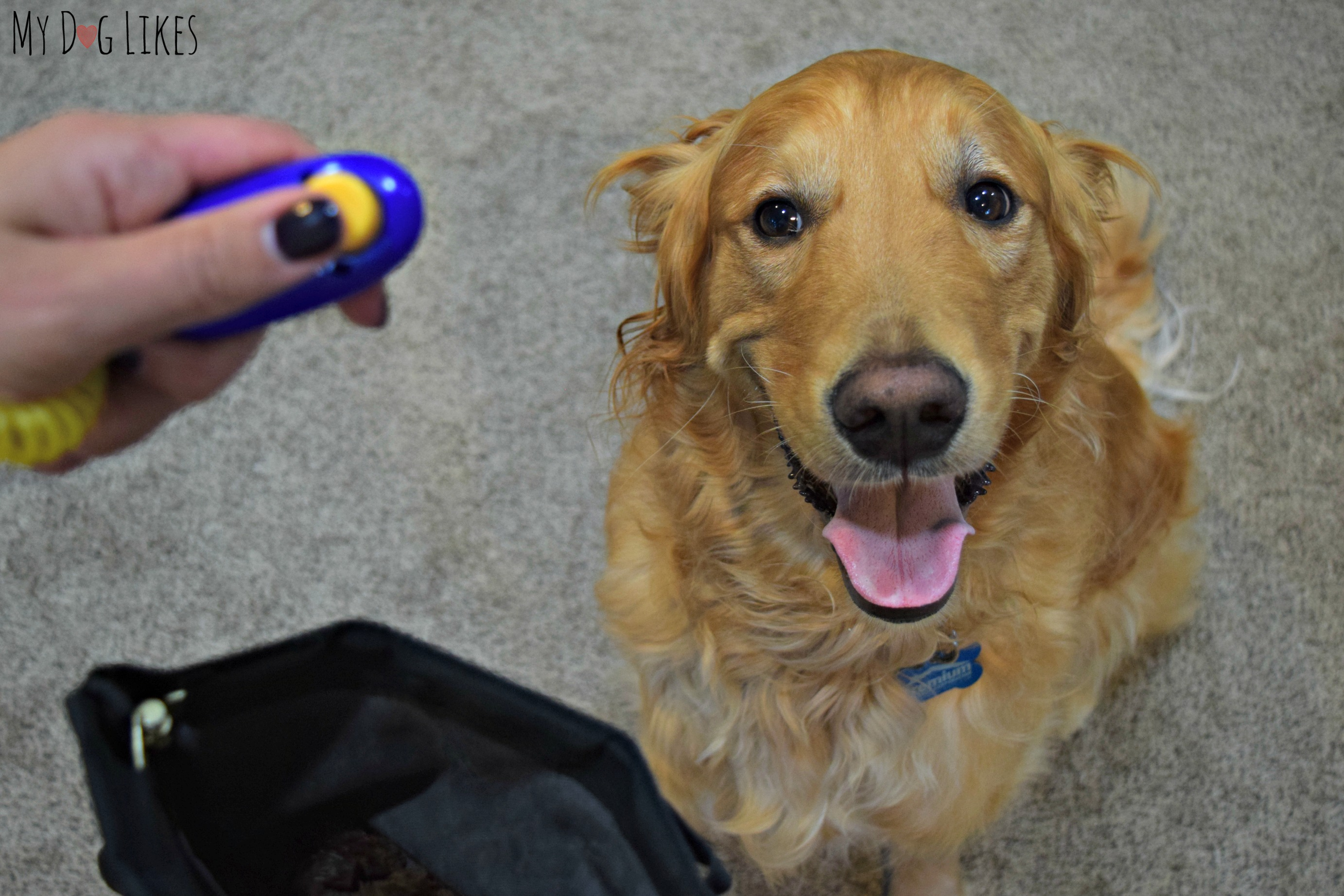 """Using a clicker to teach Charlie the """"Place"""" command"""