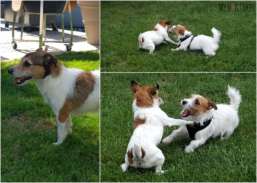 Nala playing with her sister after her Dr. Harvey's trial. She now weighs 15.0 lbs is more muscular and energetic than ever!