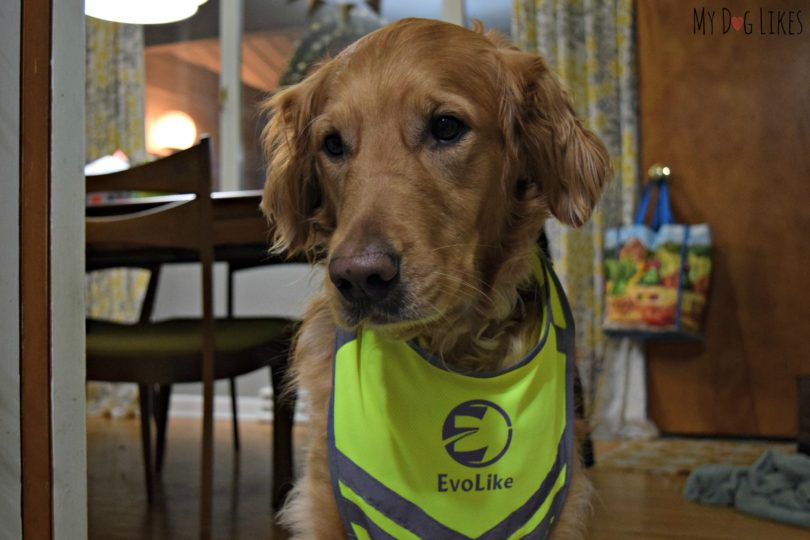 Charlie trying to wear our reflective dog walking vest!