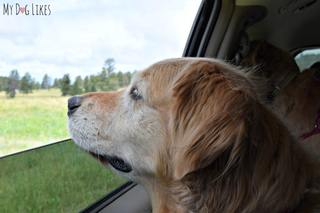 Harley enjoying the views of the Wildlife Loop