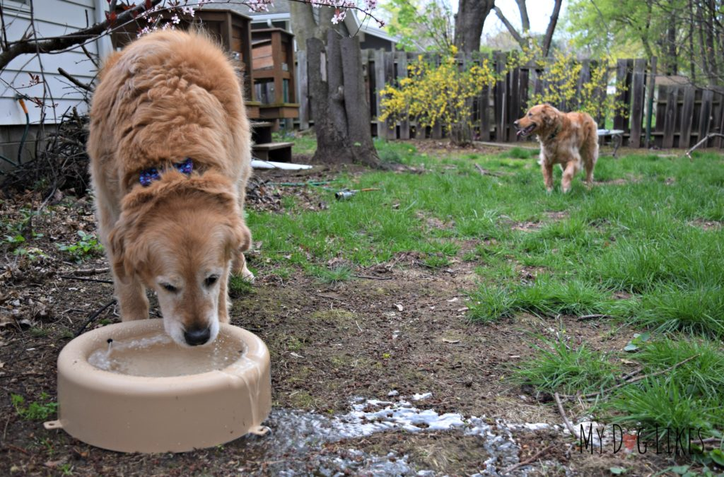 Harley taking a drink from our automatically refilling outdoor water bowl!
