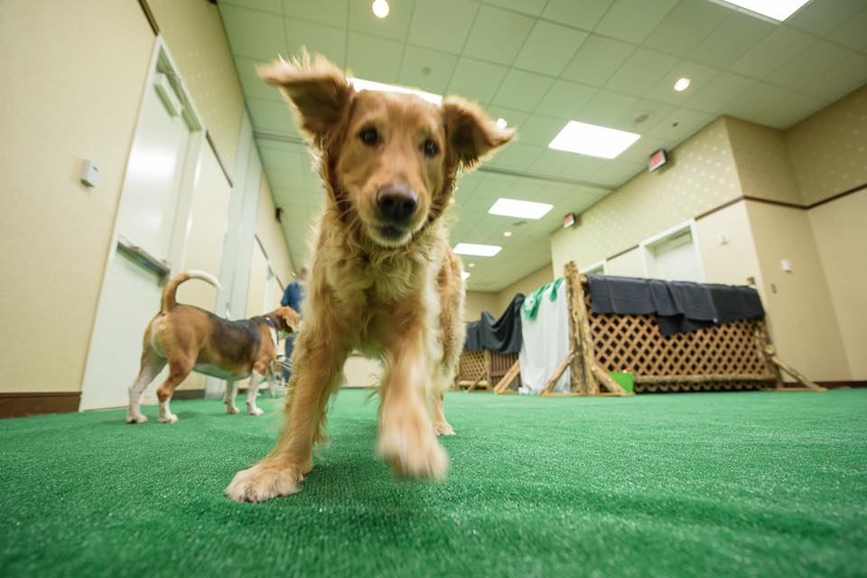 Charlie burning off some energy at the BlogPaws indoor dog park!