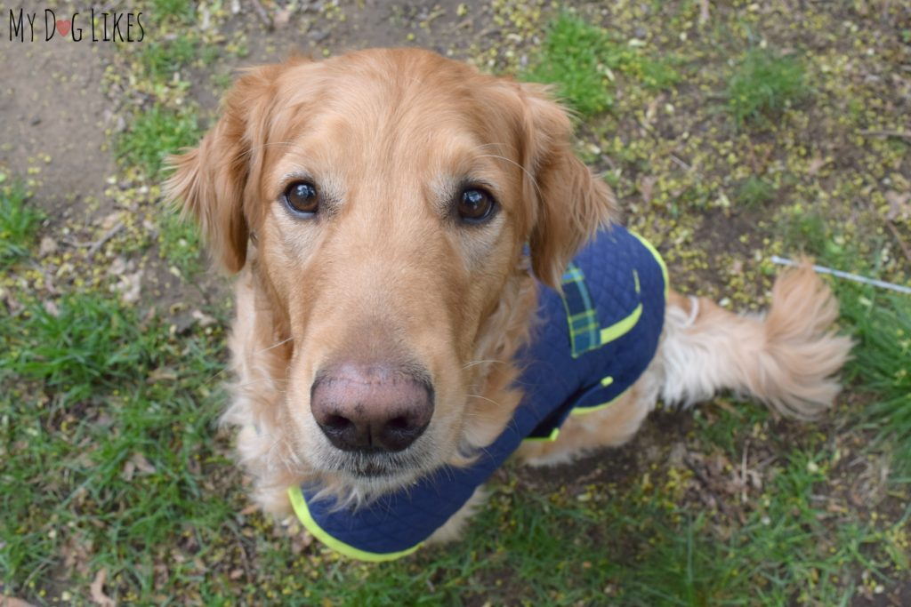 Looking for a coat for a Golden Retriever? Check out D&M Dog Fashions for a custom fit!