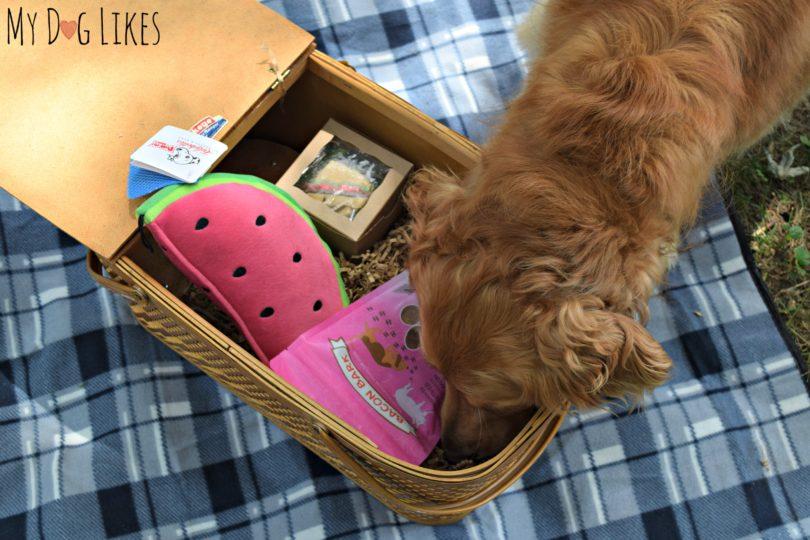 Charlie nosing through our dog picnic basket