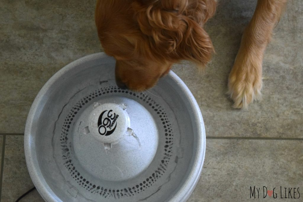 Charlie drinking from our large dog water fountain from PetSafe