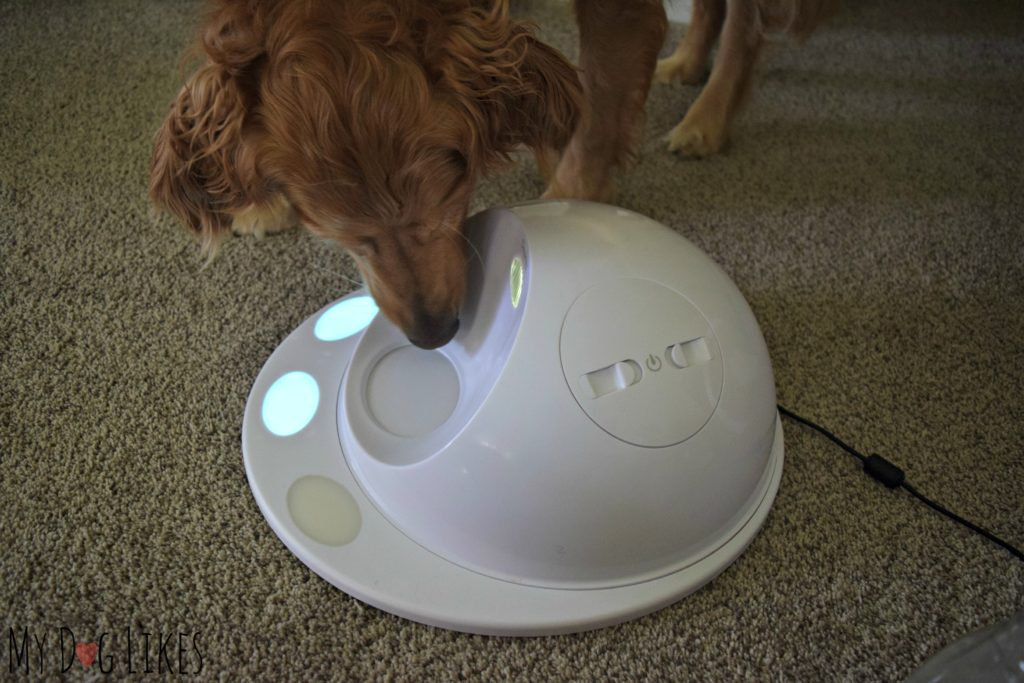 Our Golden Retriever Charlie checking out the CleverPet Hub