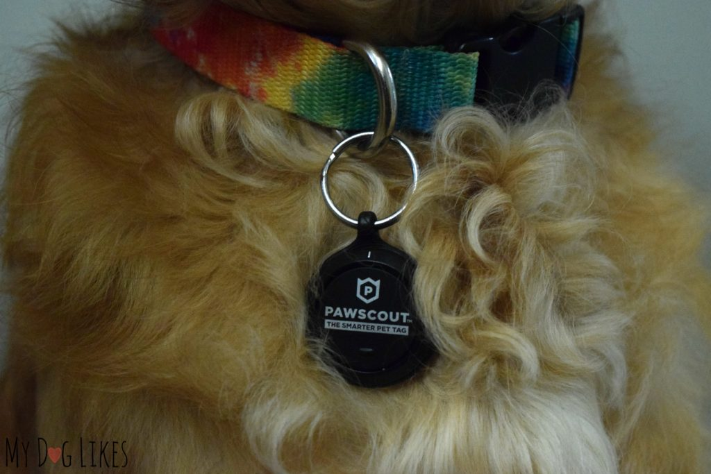 Charlie wearing his tracking pet tag