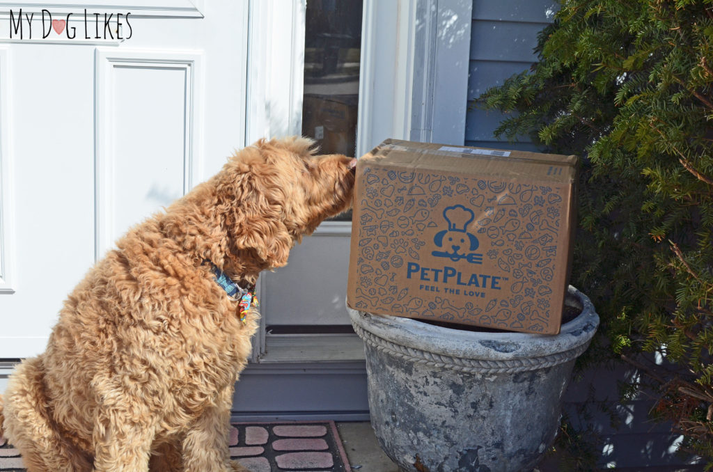 Spencer sniffing out his latest dog food delivery from PetPlate