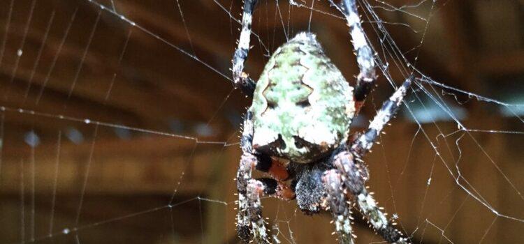 Orbweaver Spiders in Canton Georgia