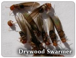 Drywood Swarmer