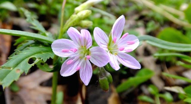 Spring Beauty Flower Purselane Family