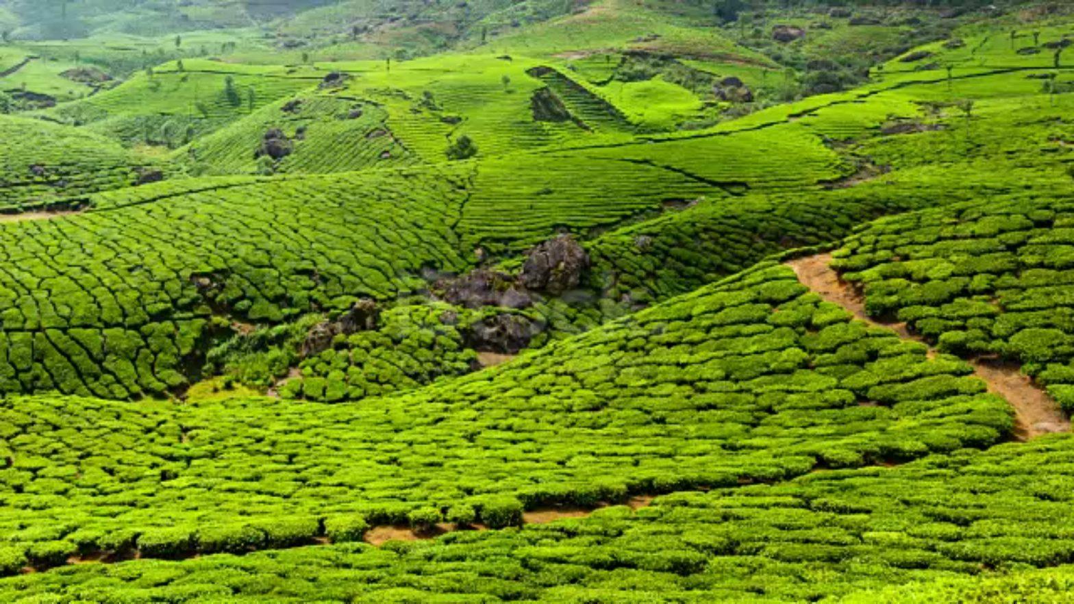 Tea Estate in Nilgiris