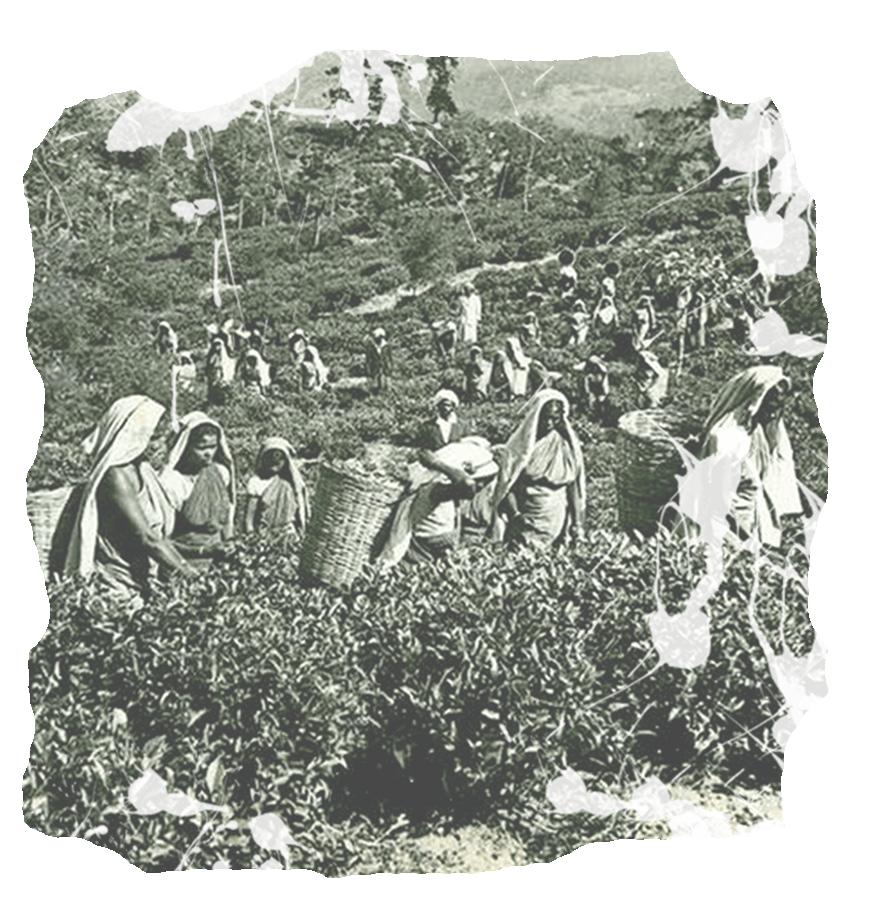 Tea Industries in Nilgiris