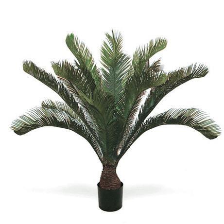 Cycas Tropical Palm Tree