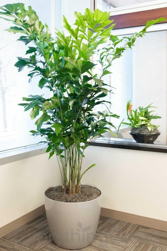 Fishtail Tropical Palm Tree