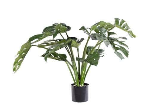 Split Leaf Philo Plant
