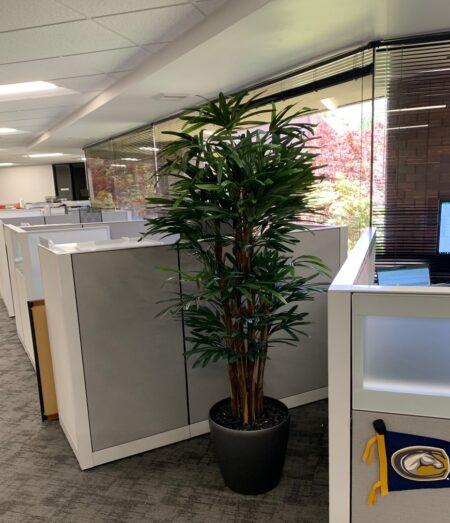 Rhapis Palm in office building