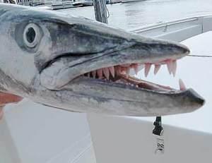 barracuda-teeth-close-up