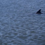Dolphin fin seen while on a stand up paddle boarding adventure tour with supecoadventures minutes from cocoa beach vero beach and melbourne beach in central floridas space coast